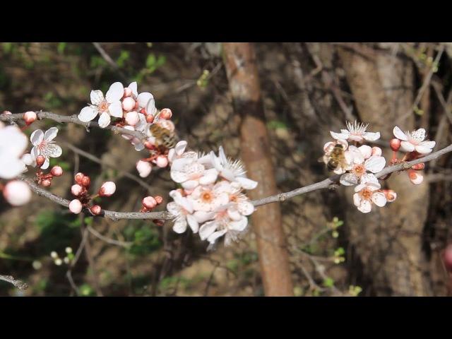 В Адыгее весна. Цветущая алыча, пчелы трудятся и птички поют. 2