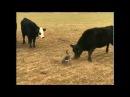 Гусь против быков! (Original: @Iam_Canadian)
