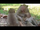Why Mother do like this on baby monkey Sweet Pea , baby Monkey Sweet Pea Angry mom crying so sad