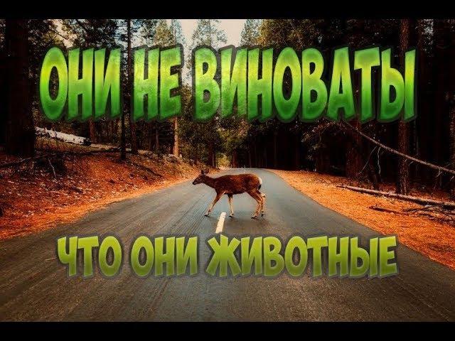 Быка за рога Аварии с животными