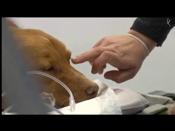 Опухоль глаза у собаки диагностика и энуклеация Tumor Ocular en Perro - Diagnóstico y Cirugía de Enucleación