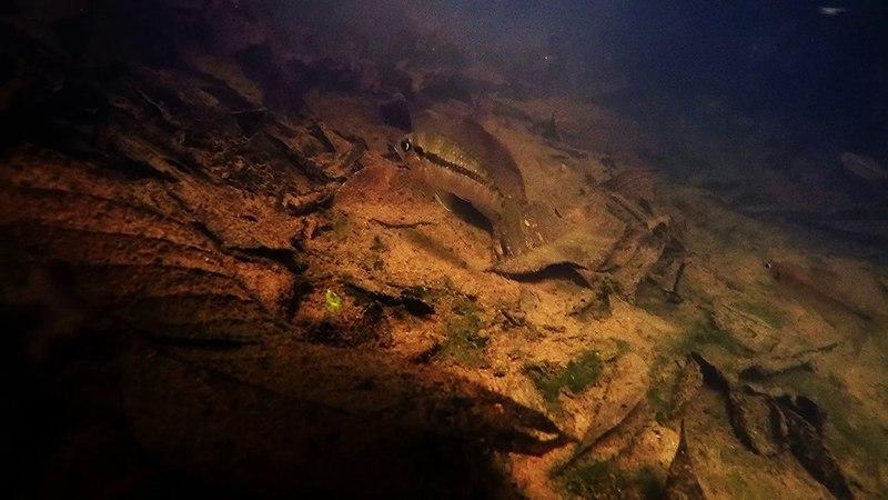 Yasuni fish biotope- Forest stream
