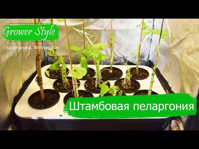 Формирование штамба Как вырастить штамбовую герань пеларгонию Часть 2