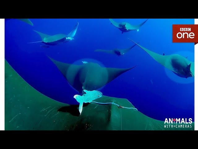 An unborn Devil Ray pup 'kicks' inside its mother Animals With Cameras Episode 3 BBC One