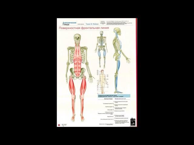 Анатомические поезда Т.Маерса - Поверхностная фронтальная линия