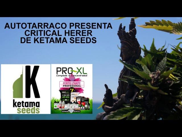CRITICAL HERER DE KETAMA SEEDS CON ABONOS PRO-XL.