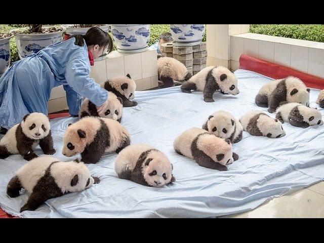 Упрямая панда пытается сбежать. Невероятно милое видео / Самая милая и упрямая п ...
