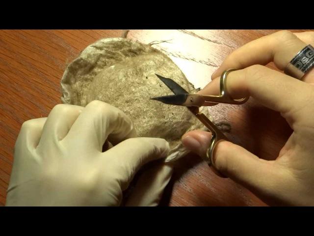 Theraphosa blondi Kokonentnahme pulling egg sac