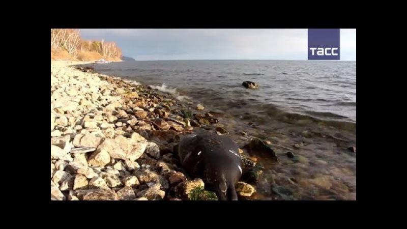 Что известно о массовой гибели нерп на Байкале