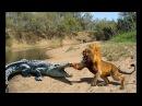 Thế giới động vật Trận Chiến Sinh Tử Sư Tử Hổ vs Cá Sấu Khổng lồ Lion vs Crocodile vs Tiger