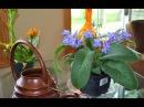 Почему ОПАДАЮТ БУТОНЫ у комнатных растений?