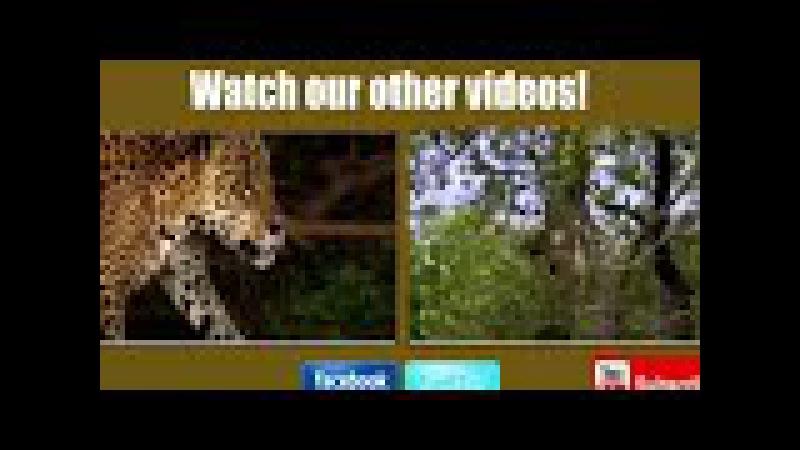 DTQ_Boar tấn công và phòng thủ không phải là một con lợn! Lion Tige
