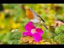 Пение зарянки малиновки Орнитотерапия Бальзам на душу при сердечных суставных болях бессоннице