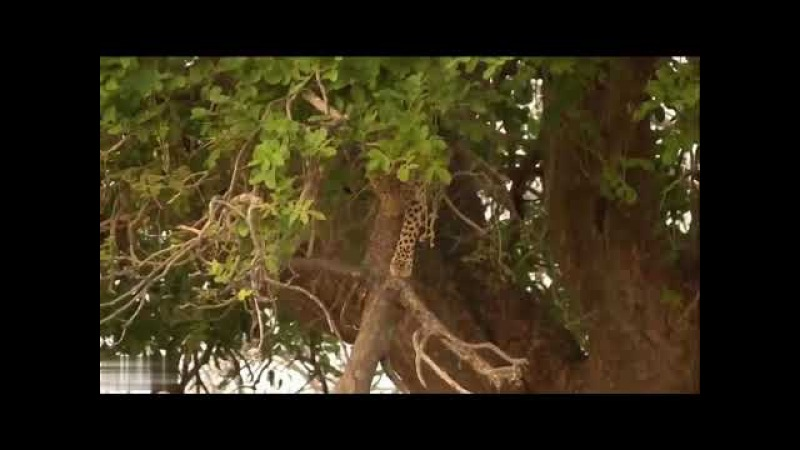 Real wildlife Baboon Save Antelope From Leopard Hunting Leopard Jumps From Tall Tree