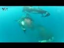 Косатки убивают детёныша горбатого кита.
