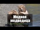 Медведица с «белым шарфом»