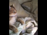 Кошечка любит смотреть свинку Пеппу