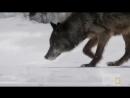 Чёрный волк и белая волчица