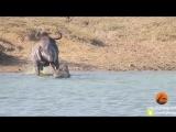 Два бегемота спасли антилопу гну, отбив её у голодного крокодила