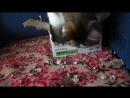 Марфуша тренируется. К охоте на мышей
