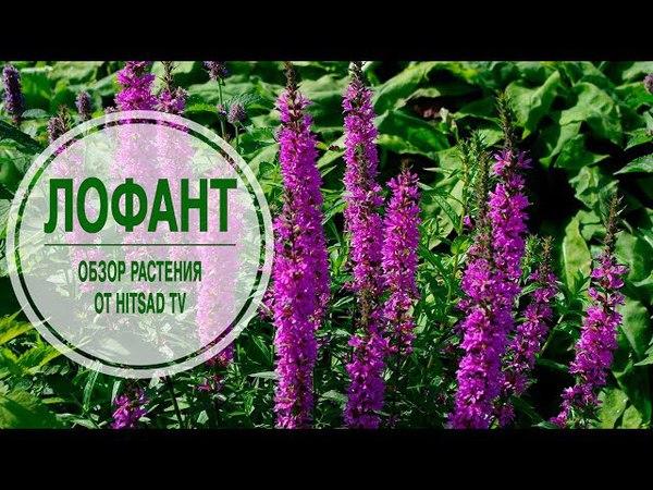 Лучшие растения для сада 🌱 ЛОФАНТ ✔ Обзор растения от эксперта HitsadTV