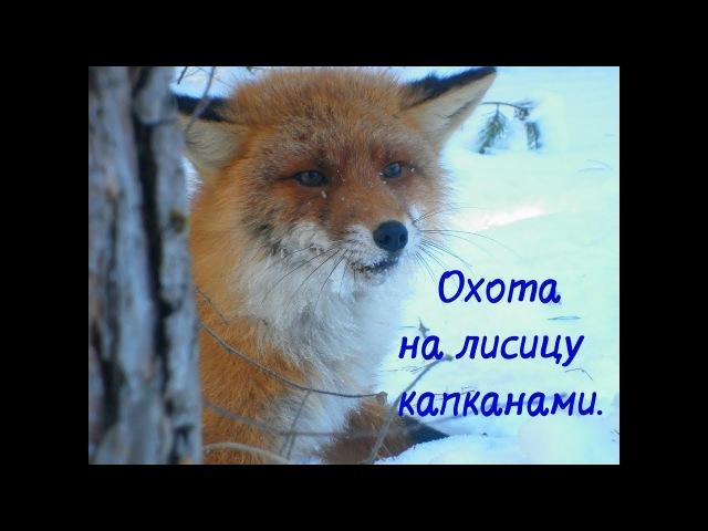Охота на лисицу капканами... (установка и проверка)