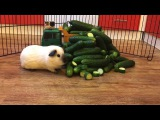 Mission Impossible guinea pig Capone vs. 10 kg of innocent cucumbers