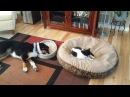 ПОПРОБУЙ НЕ ЗАСМЕЯТЬСЯ - Смешные Приколы и фейлы с Животными до слез, смешные коты 64