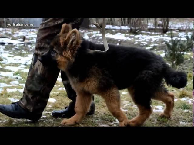 Как приучить щенка к поводку | Урок 5 видеокурса «Растем вместе»