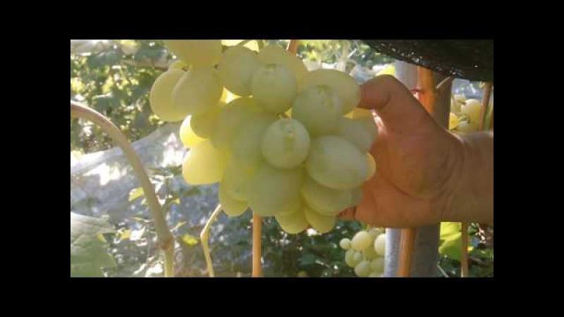 Виноградник Яремаки А.П. на 17.08.17.