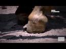 Ламинит у лошадей из за нарушения режима питания Laminitis en caballos por trastornos alimenticios