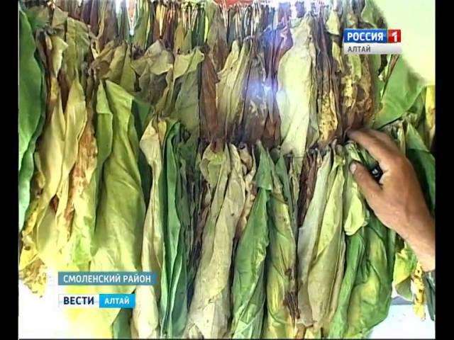 Алтайский фермер вырастил плантацию кубинского табака
