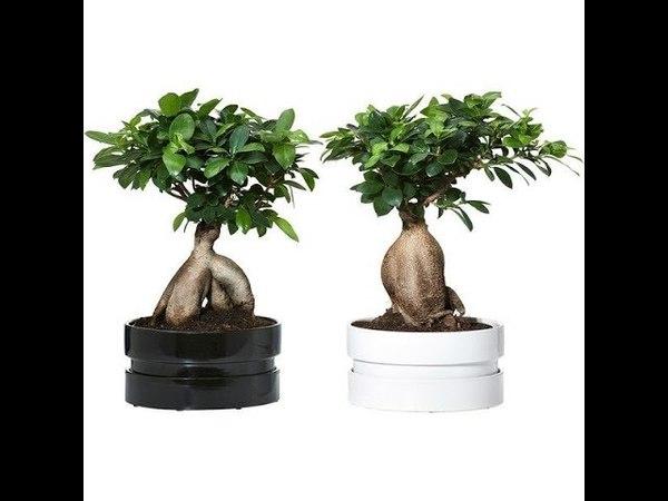 Бонсай фикус Микрокарпа Гинсенг Пересадка в домашних условиях Ficus Microcarpa Ginseng