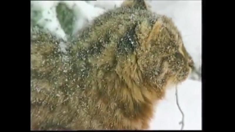 Зов тайги №17 Лесной кот online video