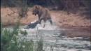 Крокодил пытается атаковать льва