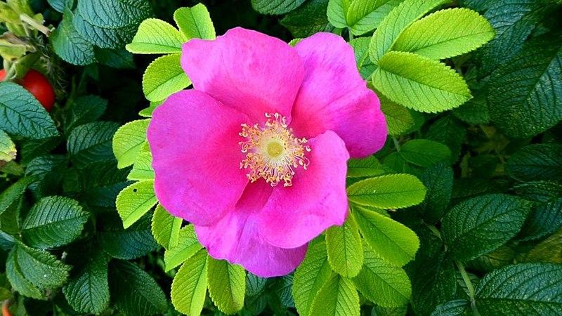 Дикая Роза. Цветы Шиповника. Роза Шиповник. Дикая Роза Шиповник. Красивые Цветы. Футаж Розы