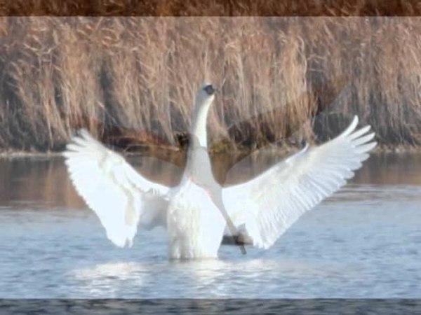 Saint-Saëns -The Swan, Michaela Fukačová Renata Ardaševová