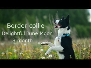 SUMMER TIME. Border Collie Shine, dog tricks. 8 month