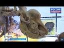 40 лет без имени. Как назовут древнего носорога из ставропольского музея?