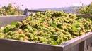 На плантациях «KVINT» в Янтарном убирают виноград.