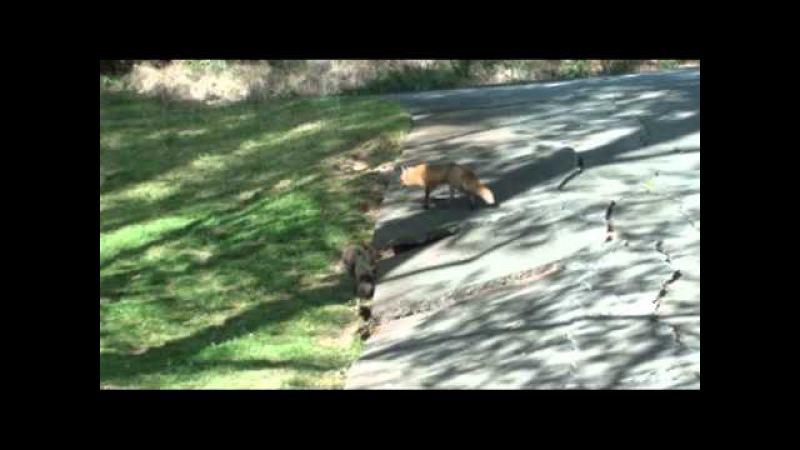 The Neighborhood Red Fox and Her Kits 2