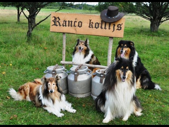 Ranch Collie video advertisement / Rančo kollija video reklāma