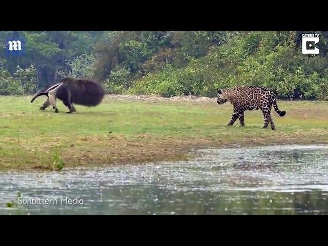 Moment jaguar stalks giant anteater only to let it go unharmed