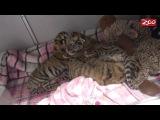 Tiger Cubs Born at Columbus Zoo