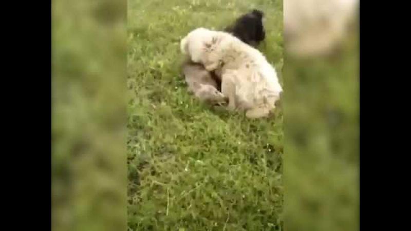 Алабай защитил стадо овец от волка, снял навидео пастух
