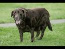 Ожирение у собак гипотиреоз или синдром Кушинга Obesidad en Perros ¿Hipotiroidismo o Síndrome de Cushing