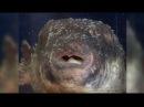Смертельный деликатес: в Японии объявили тревогу после продажи ядовитой рыбы фугу