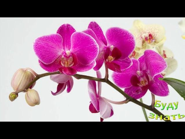 Орхидея -Цветок - ВАМПИР? Может, неправда...