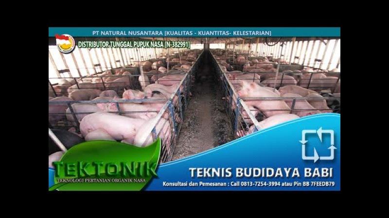 Teknis Rahasia! Cara Budidaya Ternak Babi Cepat Besar Hanya 4 Bulan - Vitamin Ternak Babi Yang Bagus