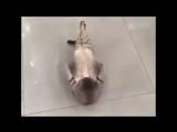 спортивный кот - отжался, упал